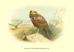 Marsh -Harrier - Circus Aeruginosus, Plumage of First Year